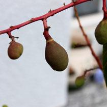 Erste Fruchtansätze