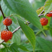 Früchte des Kazinoki (Japanischer Papiermaulbeerbaum)