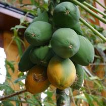 Papaya carica - selbstfruchtend von unglaublichem Geschmack