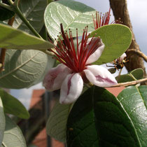 Blüte Feijoa mit Besuch