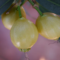 Reife Frucht Indischer Rosenapfel - Geschmack Vanille