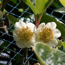 männliche Blüte