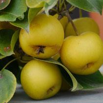 Nashi Japanische Züchtung - Apfel und Birne