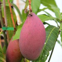 Nahezu vollreife Mangos