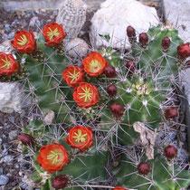 Problemloser winterharter Kaktus - ohne Winterschutz über den Winter