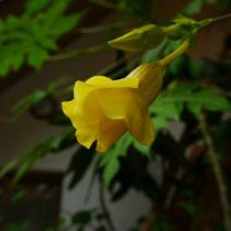Dschungelglocke (Allamanda)