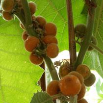 Lulo Frucht Größe bis Mandarine