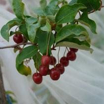 Elaeagnus multiflora (Sweet scarlet)