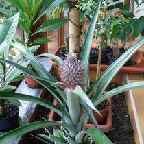 Blühende Ananaspflanze