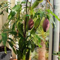 Junger Mangobaum