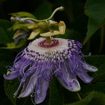 Passiflora Incarnata/Winterharte, duftende Fruchtsorte