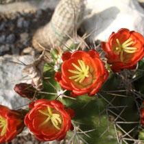 Problemloser winterharter Kaktus - kommt bei mir, ohne Schutz gut über den Winter