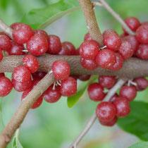 Elaeagnus multiflora ovata