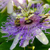 Blüte Incarnata Fruchtpflanze winterhart