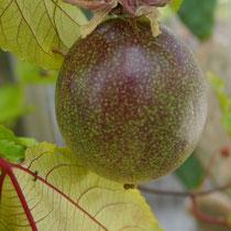 Passionsfrucht von Incarnata & Passiflora Caerulea - Geschmack hervorragend