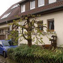 Maulbeerbaum erster Austrieb nach Schnitt - Anfang Mai 2019