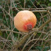Granatapfel im Winter