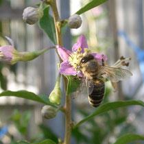 Bienennahrung Goji Blüte