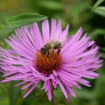 Herbstliche Bienennahrung