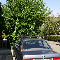 Maulbeerbaum schwarz Haus-Nordseite
