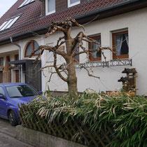 Maulbeerbaum nach Schnitt Februar