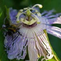 Incarnata Blüte mit Gast