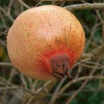 Practsexemplar Granatapfel