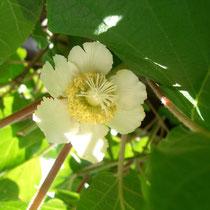 weibliche Blüte