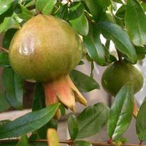 Granatapfel beim Haus