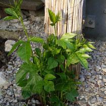 Passiflora Incarnata (Fruchtsorte)