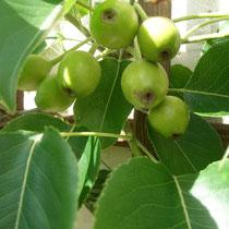Nashi Fruchtansatz