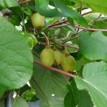 Fruchtsorte Kiwi (Hayword)