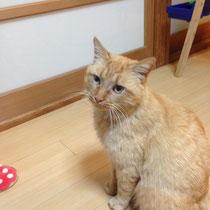 にゃんた2君 2014年3月26日 徳島県へ 募集写真掲載より保護主様へご連絡し、ご縁が結べました