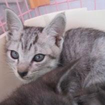 メッシュ君 トライアル終了(2014年6月15日~6月19日) 加古川市へジュジュちゃんと一緒に 名前はハク君になりました