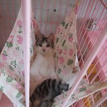 ミケコちゃん 2013年 8月 徳島県へ 名前ははるちゃんに チェリーちゃんのお家へ (茶ずけ、ハナクロ、ちしの助の兄弟)
