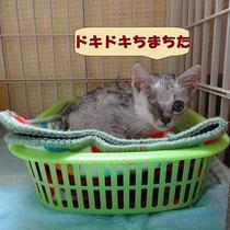 リンクス君 2015年9月18日 大阪へ 名前はカイ君になりました