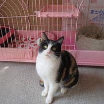 チビミケちゃん 2014年2月16日 徳島県へ 名前はみかんちゃんになりました