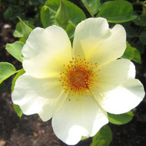 Rose Study #8/photo-rharmon
