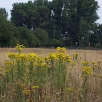 Jakobskreuzkraut auf ungepflegter Weide