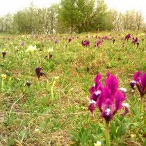 Thenauriegel, Breitenbrunn am Neusiedlersee: Tausende Zwergschwertlilien