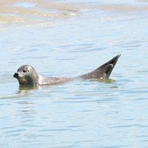 Phoque veau marin le Hourdel