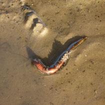 der Wattwurm will zurück in seine U-förmige Röhre, sonst wird er Nahrung für die Vögel