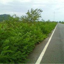 das Gebüsch wächst schnell am Rande der Nationalparkstraße in Sam Roi Yod