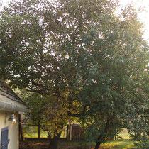Nußbaum im Herbst