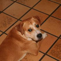 FOXY - 18 mois : Adopté le 14 Juillet 2008