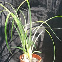 Billbergia nutans | Em vaso (3 pés) | Ref. bnv | € 7,00