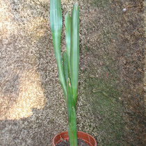Aechmea calyculata | Em vaso | Ref.acv | € 6,00