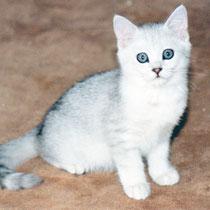 Alle Kitten aus diesem Wurf hatten Streifen an den Beinen, die Mutter hatte keine Streifen an den Beinen
