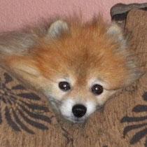 Rico - ein Animal Hoarding Spitz mit Alopezie
