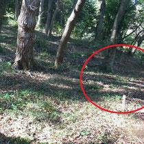 写真1  ヤブムグラ自生地は紐と杭で注意を喚起している